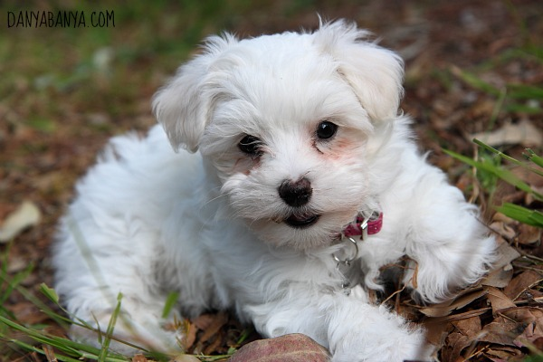 Maltese Poodle puppy