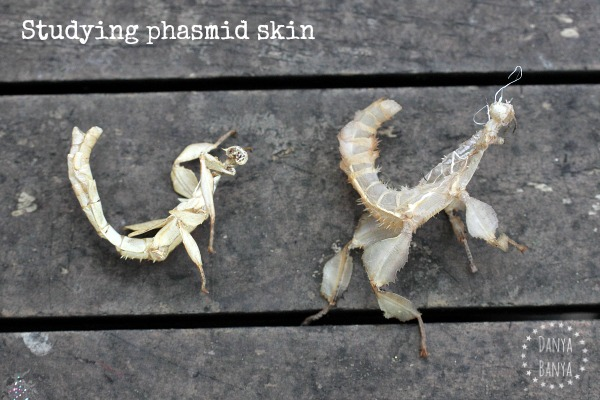 Studying phasmid skin