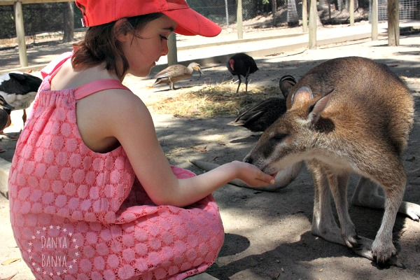 Travelling with young kids Feeding kangaroos at Port Douglas